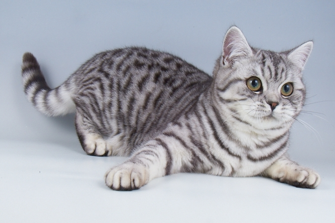 Grey And Black Spotted Cat